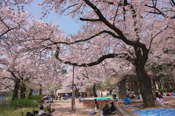 「洗足池公園 花見」の画像検索結果